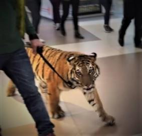 Un-hombre-pasea-a-un-tigre-con-una-correa-por-un-centro-comercial